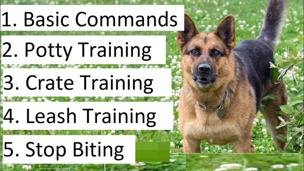 How to Train a German Shepherd Puppy – A Detailed Video on GS Training Tips