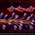 Muscle Contraction Process [HD Animation]
