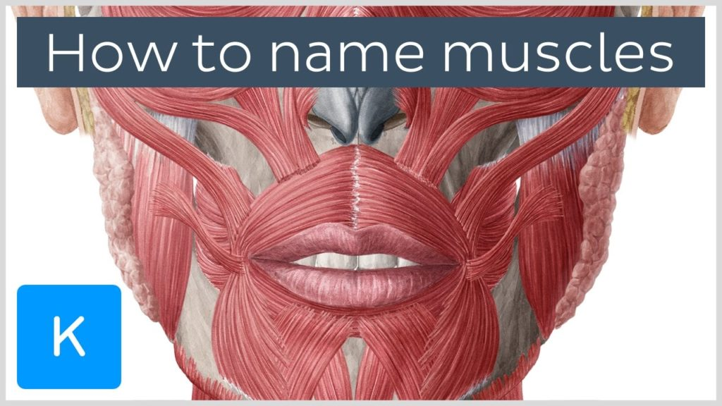 How are muscles named? – Terminology – Human Anatomy |Kenhub
