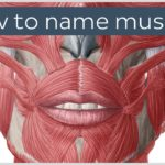How are muscles named? - Terminology - Human Anatomy |Kenhub