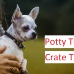 Chihuahua Training - A Detailed Video on Potty Training & Crate Training A Chihuahua