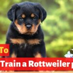 How to easily potty train Rottweiler puppy? Easy yet Effective Training method